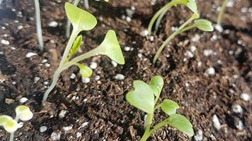 Статья - микрозелень Мизуна